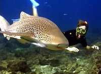 Snorkeller with a friendly leopard shark